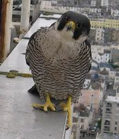 Peregrine Falcon Adult Female
