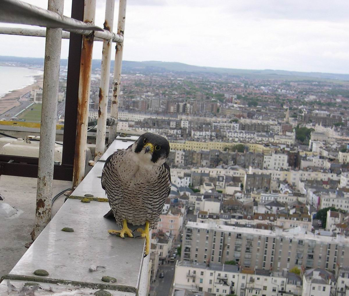 Peregrine Falcons At Sussex Heights Brighton