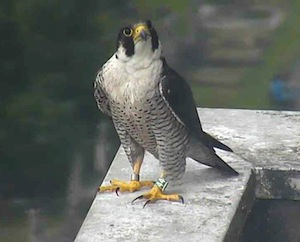 Peregrine Falcon on the Fulham webcam