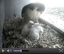 Watch Peregrines Live Webcam