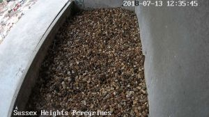 Sussex Heights Peregrine Falcons Webcam Image 13 Jul 2018 12:35:54