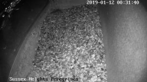 Sussex Heights Peregrine Falcons Webcam Image 12 Jan 2019 00:31:45